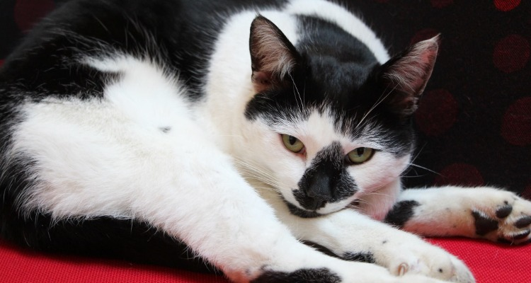 Pebbles, the black and white university of essex campus cat reclining on a red chair